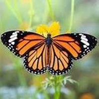 Learn Everything You Need to Know about Raising & Releasing Monarch Butterflies - Sonny Acres