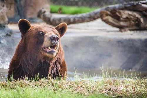 Boodah, American black bear