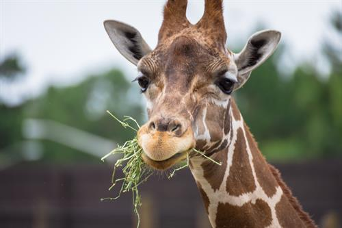 Giraffe Feedings
