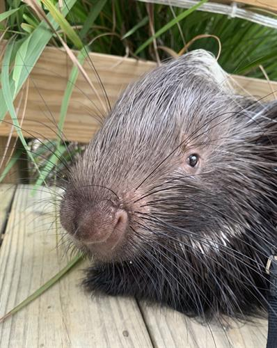 Bruce Quillis, African Crested porcupine