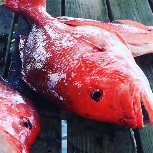 Snapper season opens May 22nd, call us to book your fishing charter!