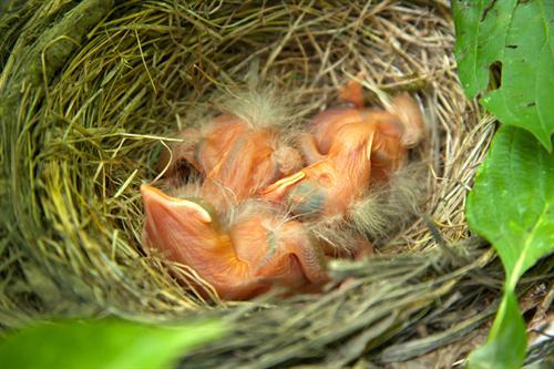 Gallery Image Baby_Birds.jpg
