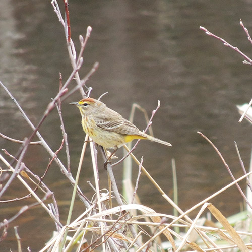 Palm Warbler by Creek