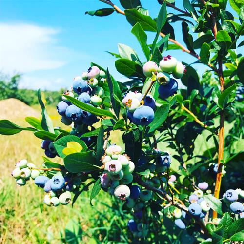 Blueberries and blue skies at Bayfield Apple Company.