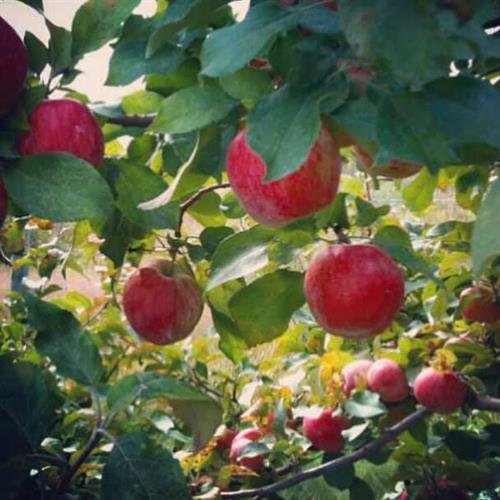 A pretty branch of Cortlands from the Bayfield Apple Company.