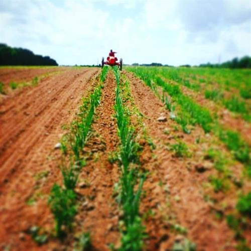 Riding the tractor through a patch of onions at Great Oak Farm in Mason, WI.