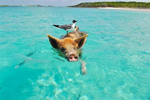 Swimming with the Pigs- The Bahamas
