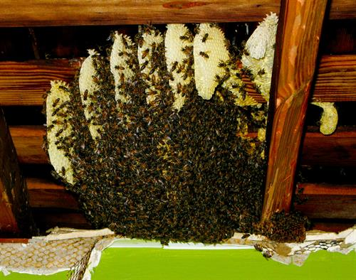 A large bee hive removed from an attic space.