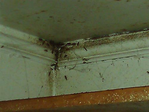 A large infestation of Oriental Cockroaches caused this problem. This is a nesting area in a high corner of the kitchen.