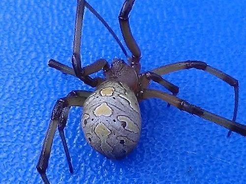 A Brown Widow spider found a  childs plastic swing.