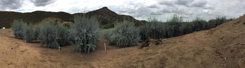 Dos Pizotes Grove Panorama