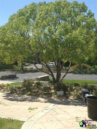 Poway Tree Lacing and Shaping