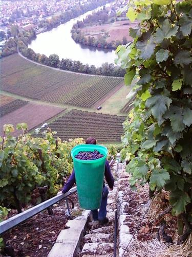 picking grapes in Germany