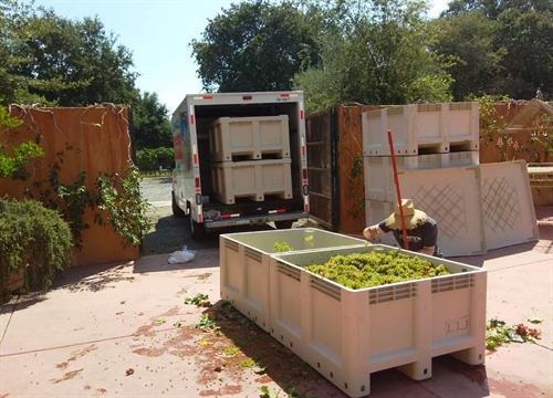 getting grapes