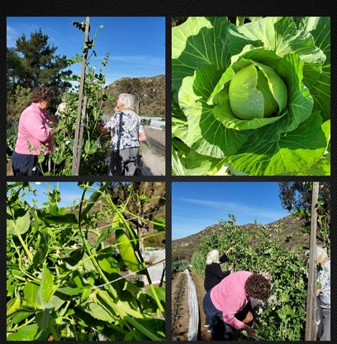 Residents love Snow Pea Harvest Day