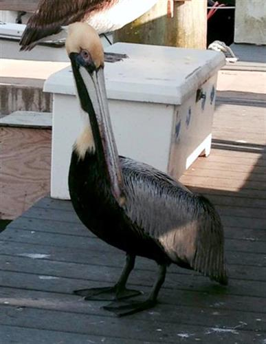 Prissy Pelican