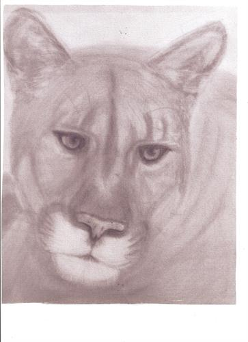 print of Florida Panther by Lorraine Darcy (pencil)