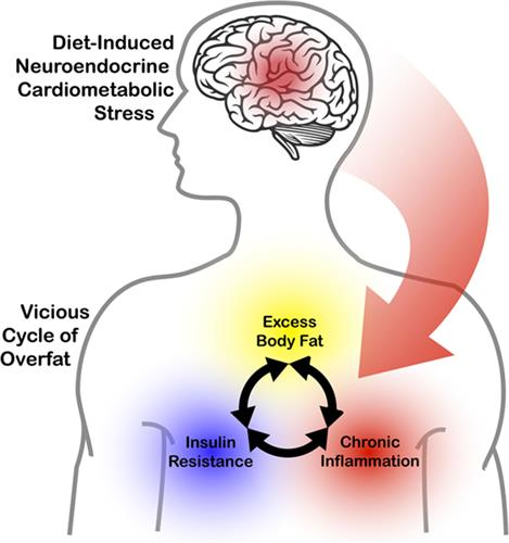 Neuroendocrine impact of excess body fat