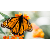 In-person: Attracting and Photographing Butterflies