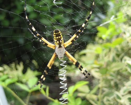 PEST -GARDEN SPIDER