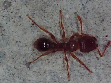 PEST CONTROL -ANTS