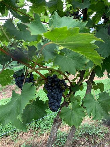 Gallery Image grapes_on_the_vine.jpg