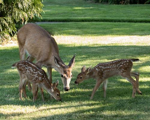 Gallery Image three_deer.jpg