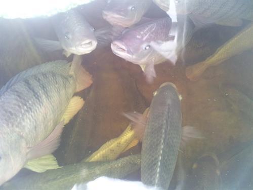 Aquaponic tilapia