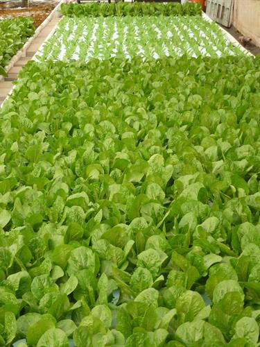 Aquaponic lettuces