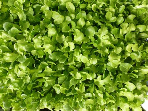 Mixed aquaponic  micro greens