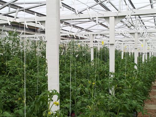 Hydroponic tomato farm