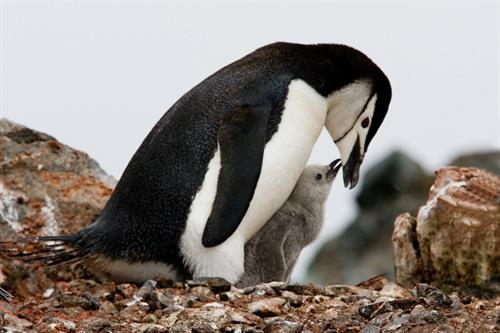 Chinstrap Mom (Antarctica)