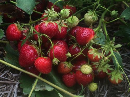 Strawberries starts around mid June to mid July usually.