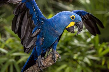 Gallery Image hyacinth_macaw.jpg