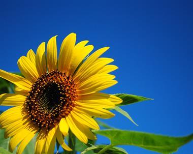 Gallery Image Farm_Sunflower.JPG
