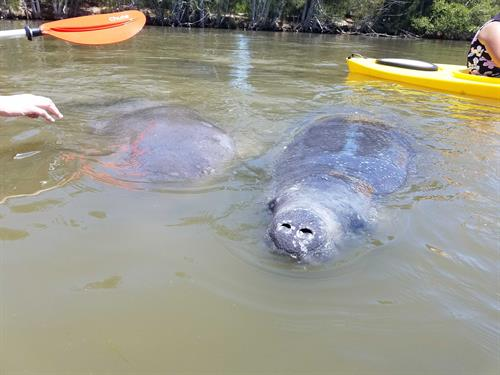 Dolphin & Manatee Kayaking Tour