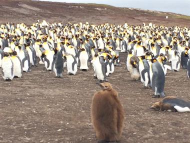 Love Penguins? Falkland Islands doesn't disappoint! I'll get you there!