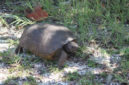Tortoise on the move.....slowly