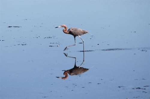 Reddish Egret mirrored in shallow water