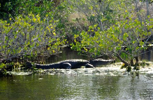 American Alligator Sunning