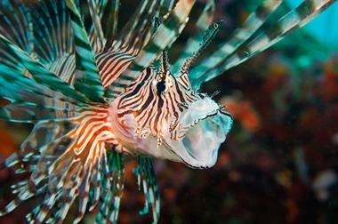 Live Lion Fish Display and Feedings.