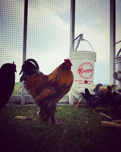 Gallery Image rooster.jpg