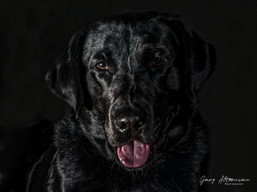 """Badger is Ready for the Hunt"" - A handsome Black Labrador Retriever."