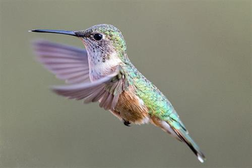 Gallery Image hummingbird.jpeg