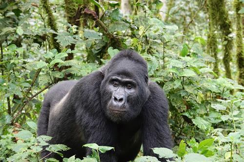 Gallery Image Rwanda_gorilla_.JPG