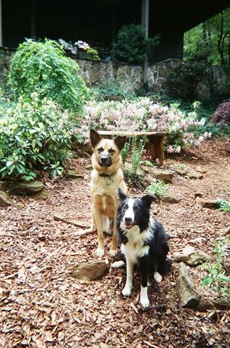 Duke (Belgian Malinois) and Duchess (Border Collie) our two kids