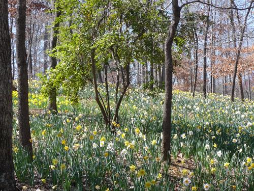 The many acres of Daffodils in Gibbs Gardens in the Spring