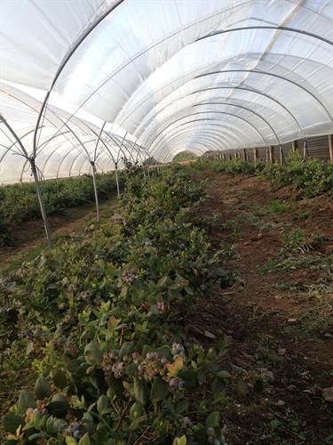 Blueberries in tunnels for Driscoll
