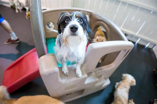 Centreville VA dogs love day care at Healthy Hound Playground!