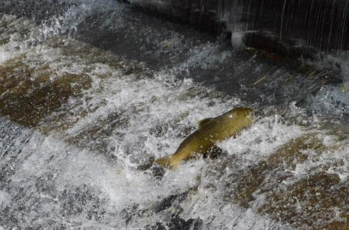A returning salmon jumps over the weir.